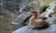 Ita Martin - Little Grebe - Malahide Camera Club - Projected Natural World - Advanced Honourable Mention.jpg