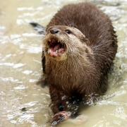 Suzanne McMahon - Otter - Palmerstown Camera Club - Projected Natural World - Intermediate Honourable Mention.jpg