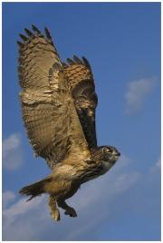 Teresa Kavanagh - Eagle owl - Palmerstown Camera Club - Projected Natural World - Advanced Bronze.jpg