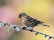Charlie Lee - redpoll - Clonakilty Camera Club - Projected Open - Advanced Gold.jpg