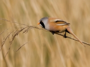 John Fox - Bearded Reedling. - Malahide Camera Club - Projected Open - Intermediate Gold.jpg