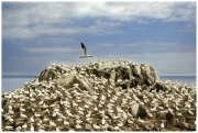 Teresa Kavanagh - Gannet flying over colony - Palmerstown Camera Club - Projected Open - Advanced Honourable Mention.jpg