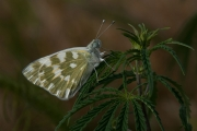 Derek J Lynch - Eastern Bath White on Cannabis Plant - Drogheda Photographic Club - Projected Theme - Advanced Honourable Mention.jpg