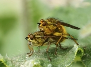 Paul Tips - Mating Tellow Dung Flies - Mallow Camera Club - Projected Theme - Advanced First.jpg