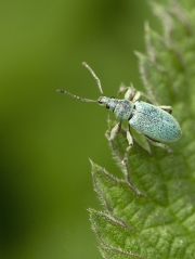 0731 Heather Rice Mountrath CC.- Nettle Weevil GOLD - Non Advanced