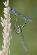 0702 Paul Tips Mallow CC - Mating Blue Damsels HM - Advanced