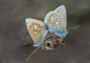 0359 Mary Twomey Malahide CC - Common Blues Mating GOLD - Advanced