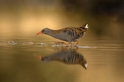 MW - Dominic Reddin_Mountmellick Photographic Society_Waterrail Adv