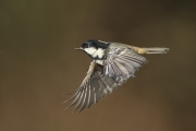 NE - Hugh Wilkinson_Catchlight Camera Club_Coal Tit in Flight