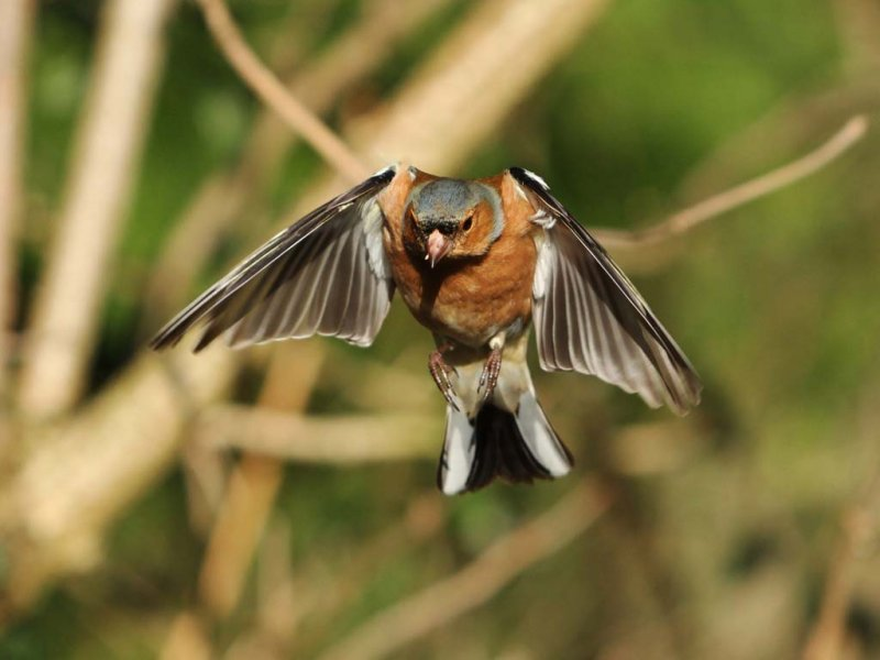 Chaffinch in flight