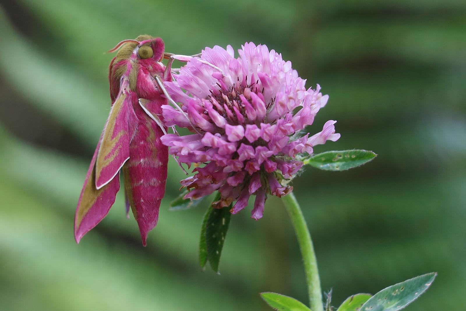 Elephant Hawk Moth on Clover flower Colette Gemmell Breffni Club