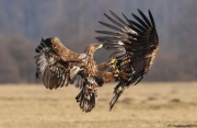 Advanced - Bronze - Neil O'Reilly - Dogfight - Tallaght Photographic Society