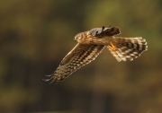 Advanced - Gold - Neil O'Reilly - Montagus Harrier - Tallaght Photographic Society