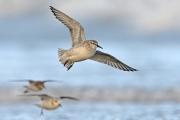 Advanced - Judge Medal - Derek Lynch - Grey Plovers in Flight - Drogheda Photographic Club