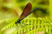 Non Advanced - Gold - Michael Grant - Demoiselle Agrion - Mountmellick Photographic Society