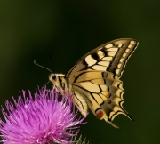 Non Advanced - HM - Mary Doherty - European Swallowtail 1 - Wicklow Photography Club