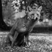Non Advanced - HM - Seamus Mulcahy - Staring Fox - Blarney Photography Club