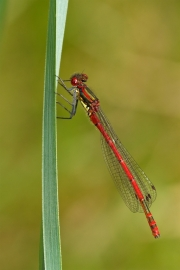 Non Advanced - Silver - Michael Grant - Red Damselfly - Mountmellick Photographic Society