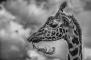 Non Advanced - Winner - Tadhg Hurley - Feathered Giraffe - Blarney Photography Club