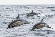 Advanced - Bronze - Malcolm McCamley - Common Dolphins - Bray Camera Club