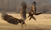 Advanced - Gold - Neil O'Reilly - White Tailed Eagles - Tallaght Photographic Society
