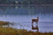 Advanced - Judge Medal - Kieran O'Mahony - Deer Reflections - Blackwater Photographic Society