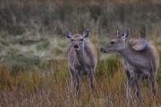 Non Advanced - HM - pat guilfoyle - deer in glendalough - Portlaoise Camera Club