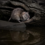 Print Open - Advanced Bronze - Hugh Wilkinson - Rat With Reflection - Catchlight Camera Club