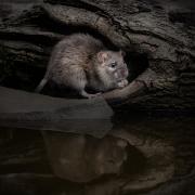 Print Open - Advanced Bronze - Hugh Wilkinson - Rat With Reflection - Catchlight Camera Club