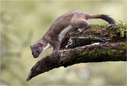 Print Open - Advanced Gold and Overall Winner - Ita Martin - Wild Stoat - Malahide Camera Club