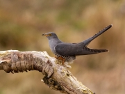 Print Open - Advanced Silver - Charles Galloway - Cuckoo - Waterford Camera Club