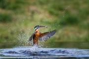 Print Open - Advanced Honourable Mention - freddie mcardle - kingfisher 3 - Tain Photographic Group