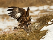 Print Open - Advanced Judge's Medal (Rikki O'Neill) - Charles Galloway - Golden Eagle - Waterford Camera Club