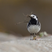 Projected Nat World - Advanced Gold - Charles Lee - pied wagtail - Blarney Photography Club