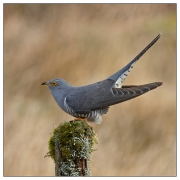 Projected Nat World - Advanced Honourable Mention - Tom Ormond - Cuckoo Perched - Celbridge Camera Club