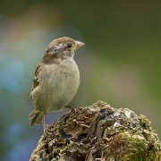 Projected Open - Non-Advanced Honourable Mention - Seamus Mulcahy - Bird on a Log - Blarney Photography Club