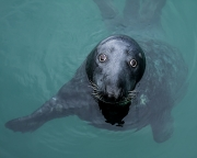 Projected Open - Advanced Judge's Medal (Gwen Chanock) - John Coveney - Grey Seal in Dun Laoghaire - OffShoot Photography Society (South Dublin)