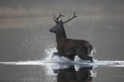 Projected Theme - Advanced Honourable Mention - Michael Linehan - Stag in Lough Leane - Celbridge Camera Club