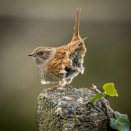 Projected Theme Advanced First - John Coveney - Dunnock in Barleycove - OffShoot Photography Society South Dublin