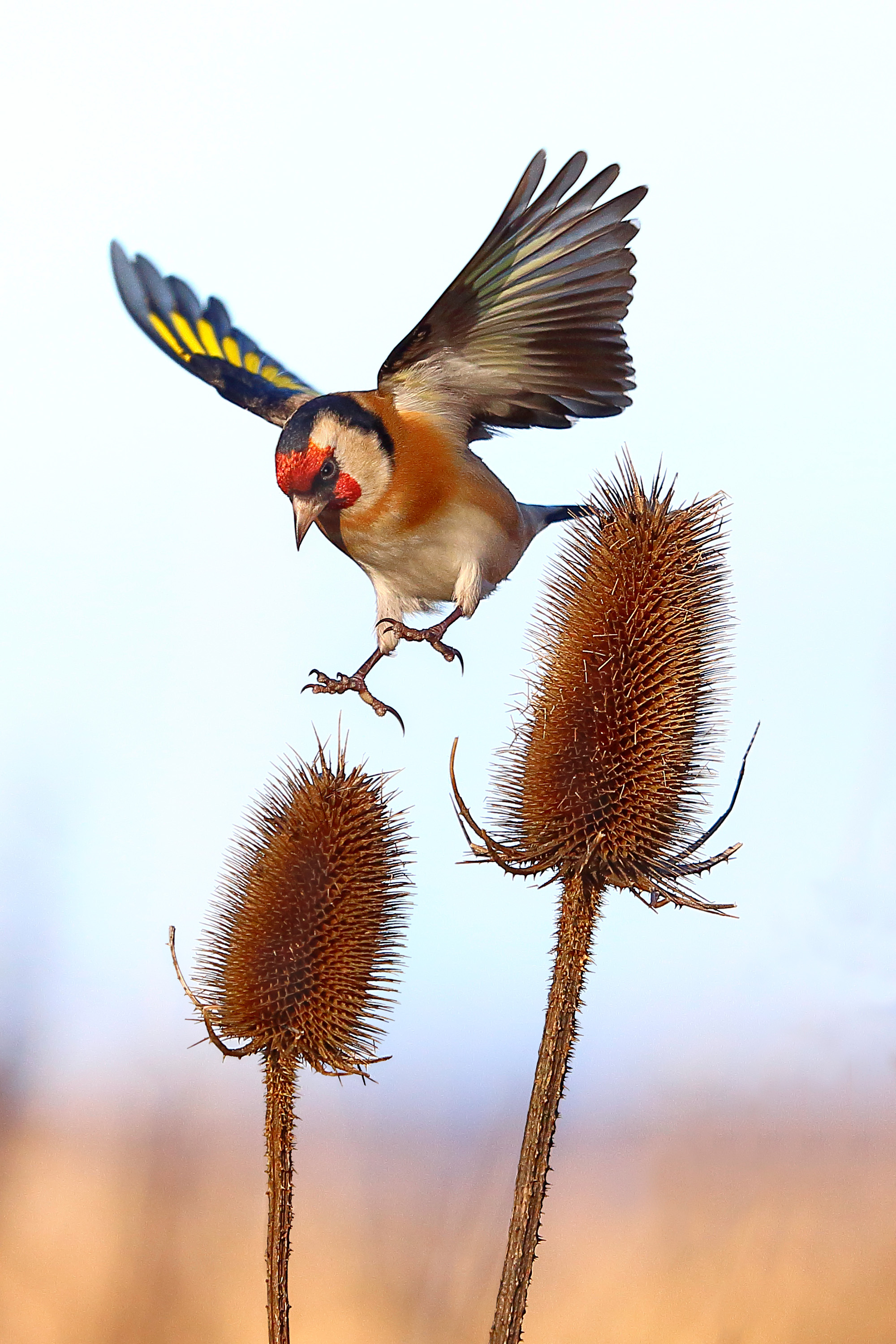 0411_Cp4_Goldfinch-And-Teasel_1_Advanced