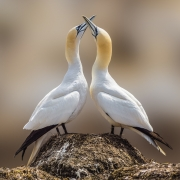 Patrick Lyons - Dance of the Gannets - Carrick Camera Club - Projected Image Open - Intermediate Honourable Mention.jpg