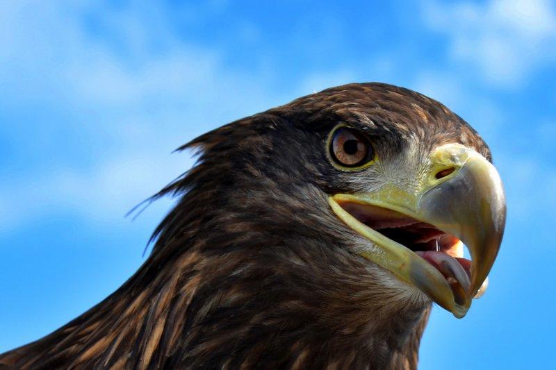 127_eagle-head