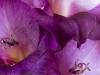 136_Gladiolus