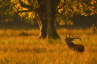 Red Deer Stag in Morning Light