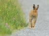 Irish Hare and Morning Dew