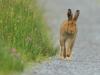 Irish Hare & Morning Dew