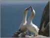 Gannets-in-Love-PSA-Bronze-Medal-Cliff-Hutchinson
