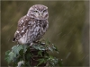 Little-Owl-PSA-Gold-Medal-Adrian-Lines