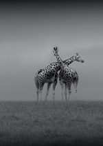 Honourable Mention, Alan Rossiter, Crossed Giraffes, Wexford Camera Club
