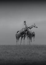 Honourable Mention, Alan Rossiter, Crossed Giraffes, Wexford Camera Club